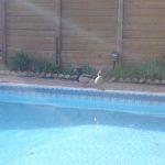 Pool Ducks Have Arrived!
